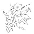 Bunch of grapevine vector illustration Stock Image