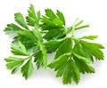 Bunch of green coriander Royalty Free Stock Photo
