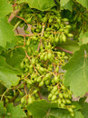 Bunch of green grapes growing on the grape vines Royalty Free Stock Photo