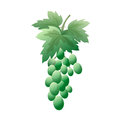 Bunch of green grapes with leaves. On a white background.