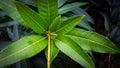 Bunch of green mango leaves macro close up Royalty Free Stock Photos