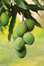 Bunch of green mango on tree in garden Royalty Free Stock Images