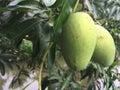 Bunch of green mango on tree selective focus Stock Photo