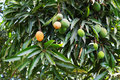 Bunch of green and orange ripe mango on tree in garden selective focus Stock Image