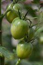 Bunch of green tomatoes Royalty Free Stock Images