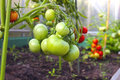 Bunch of green tomatoes on a branch growing in greenhouse Royalty Free Stock Photo