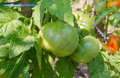 Bunch of green tomatos in the garden closeup Royalty Free Stock Image
