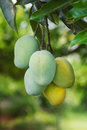 Bunch of green and two yellow ripe mango on tree in garden selective focus Stock Photo