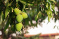 Bunch of green unripe mango on mango tree in garden Royalty Free Stock Photo