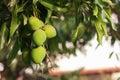 Bunch of green unripe mango on mango tree in garden Royalty Free Stock Photo