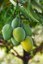Bunch of green and yellow ripe mango on tree in garden one selective focus Royalty Free Stock Photos