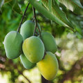 Bunch of green and yellow ripe mango on tree in garden selective focus Royalty Free Stock Photo