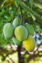 Bunch of green and yellow ripe mango on tree in garden with tree background selective focus Stock Photography