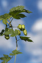Bunch of hops on a sky background sunny day weather Stock Images