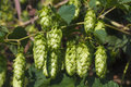 Bunch of hops on a sky background sunny day weather Stock Photos