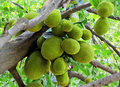 Bunch of jack fruits close up artocarpus heterophyllus also called chakka in kerala where the fruit originated Royalty Free Stock Image