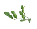 Bunch of kaffir lime leaf thai ingredient food on white background Royalty Free Stock Photos