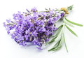 Bunch of lavandula or lavender flowers on white backgro Royalty Free Stock Photo