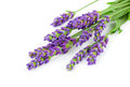 A bunch of lavender flowers on white background Royalty Free Stock Image