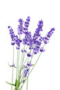 Bunch of lavender flowers on white background Royalty Free Stock Photo
