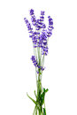 Bunch of lavender flowers on white background isolated Royalty Free Stock Photo