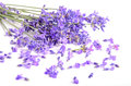 Bunch of lavender fresh flowers on a white background Stock Images