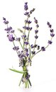 Bunch of lavender. Royalty Free Stock Photo
