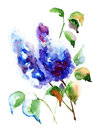 Bunch of lilac flowers watercolor illustration Royalty Free Stock Photography