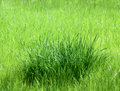 Bunch of lush green grass Royalty Free Stock Images