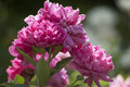 Bunch of magenta peonies bright pink in the summer sun Royalty Free Stock Image
