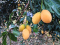 Bunch of mango plum under tree in tropical graden background fruit and copy space Stock Image