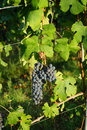 Bunch of Nebbiolo Grapes
