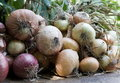Bunch of onions Royalty Free Stock Images