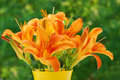 Bunch of orange day-lily Stock Photography