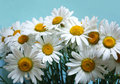 Bunch of ox-eye-daisy flowers Stock Photo