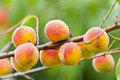 Bunch of peaches on a branch Stock Images