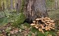 Bunch Of Pholiota Fungi