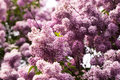 Bunch of pink lilac flower Stock Photography