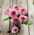 Bunch of Pink and Red Chrysanthemum Royalty Free Stock Photo