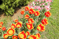 Bunch Of Pink, Red And Yellow Tulip Flowers Royalty Free Stock Photo