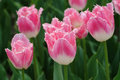 Bunch pink white frills tulips spring time Royalty Free Stock Image