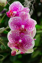 Bunch of pink and white orchid blossom with blured green black background flowers in focus Royalty Free Stock Images