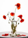 Bunch of poppies in vase on a white background Stock Image