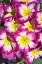 Bunch of Primroses Stock Photography