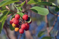 A bunch of red berries on a branch with green leaves arbutus the round are bright and bright yellow the rounded shape and leathery Stock Photography