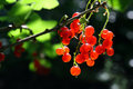 Bunch of red currant berry Royalty Free Stock Photo