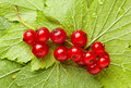 Bunch of red currant on leaves Royalty Free Stock Image