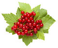 Bunch of red currant on leaves with water drops Stock Image