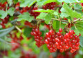 Bunch of red currants Stock Photo