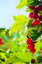 Bunch of red currants shallow dof green leaves Royalty Free Stock Images